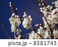 花 白梅 梅の写真 8381743