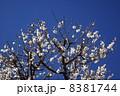 花 白梅 梅の写真 8381744