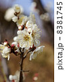花 白梅 梅の写真 8381745