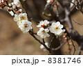 花 白梅 梅の写真 8381746