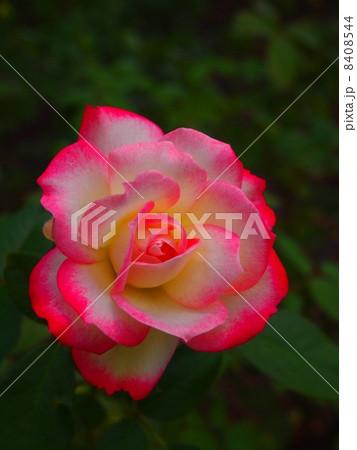 ピンクと白のグラデーションが美しい一輪の薔薇の花 縦 8408544