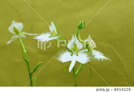珍しい形の花・白鷺に似た姿のサギソウの花と蕾・金和紙バック横位置 8414129