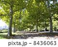 プラタナス 並木道 並木の写真 8436063