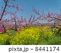 桃の花と菜の花 8441174