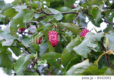 風変りな木の実・ホオノキの赤い大きな果実・横位置 8442063