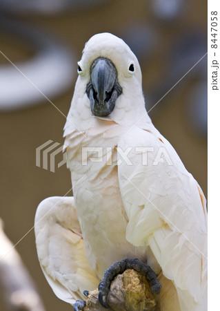 Beautiful  parrotの写真素材 [8447058] - PIXTA