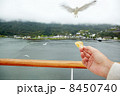 Female hand with piece of bread and approaching seagull. 8450740