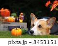 ウェルッシュコーギーペンブローク コーギー ハロウィンの写真 8453151