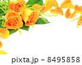 薔薇 8495858