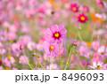 コスモス畑のピンクのコスモス 8496093