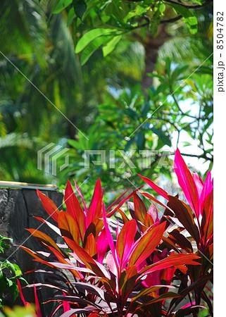 観葉植物 植物 コルディリネ 葉 緑の葉 赤い葉 南国 南国イメージ バリ島 インドネシア 東南アジア 南の島 風景 暑い 熱帯  8504782