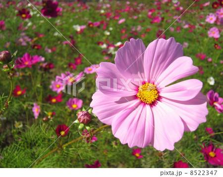 コスモスの花 8522347