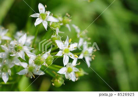 秋に咲いたノビルの花 8526925