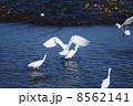 ダイサギ 鳥 サギの写真 8562141