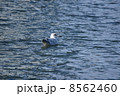 背黒鴎セグロカモメ幼鳥 ぷかぷか 8562460