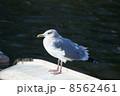背黒鴎セグロカモメ 冬羽 8562461