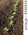 子葉 小松菜 双葉の写真 8580848