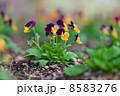 ビオラ 開花 園芸の写真 8583276