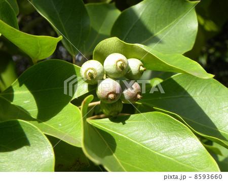 着ると姿が隠せる簑のように葉が蜜についるカクレミノの実 8593660