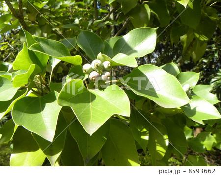 着ると姿が隠せる簑のように葉が蜜についるカクレミノの実 8593662