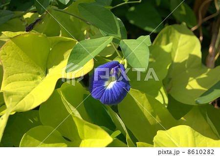 クリトリア・ブルージャック:チョウマメ(蝶豆) 8610282