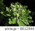 もう直ぐ黄色い花を咲かすイソギク 8612944
