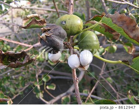 実が熟して轄列して白い蝋に包まれた種が見え始めたナンキンハゼ 8612947