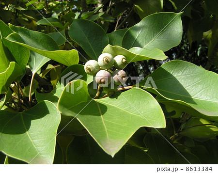 ると姿が隠せる簑のように葉が蜜についるカクレミノの実 8613384