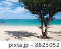 モクマオウ ウッパマビーチ 沖縄の写真 8623052