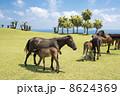 都井岬の海辺で授乳する馬の親子 8624369