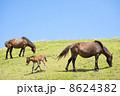 青空の下の都井岬の馬の親子 8624382