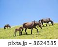 移動中の都井岬の馬の親子 8624385