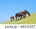草を食む都井岬の馬の親子と青空 8624387