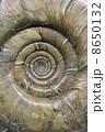 アンモナイトの化石 8650132