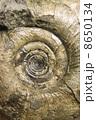 アンモナイトの化石 8650134
