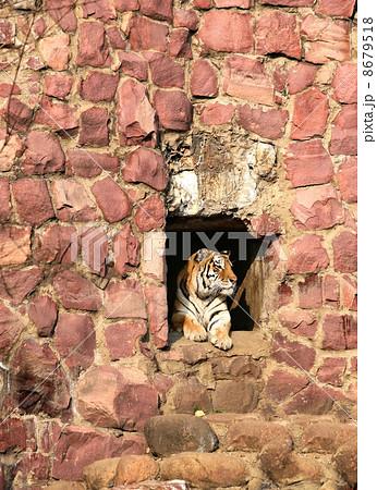Tigerの写真素材 [8679518] - PIXTA