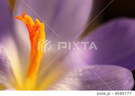 秋咲きクロッカスと朝露 8686777