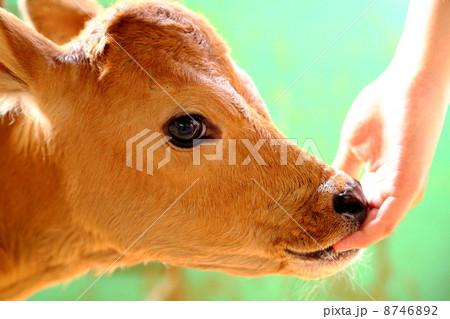 甘える牛 8746892
