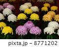 菊の花 菊花 菊の写真 8771202