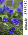 リンドウの花 8787032