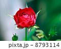 バラ 花 薔薇の写真 8793114