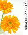 オレンジ色のガーベラ 8799184