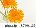 オレンジ色のガーベラ 8799185