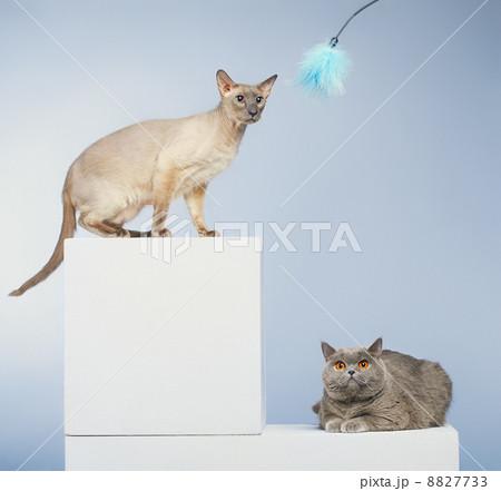 Two Catsの写真素材 [8827733] - PIXTA