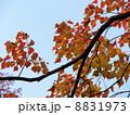 南京櫨の紅葉 8831973