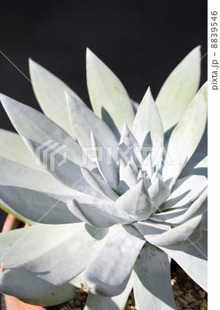 世界で最も白い植物のダドレア・仙女盃(ブリトニー) 8839546