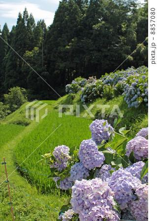 紫陽花のある風景 8857080