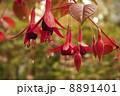 フクシア 8891401