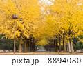 イチョウ 街路樹 並木の写真 8894080