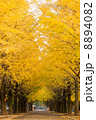 光が丘公園の銀杏並木 8894082